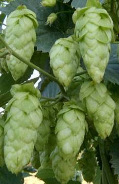 BG Apolo hops 2018 crop