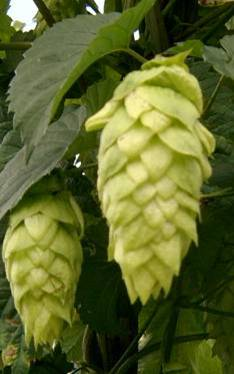 Willamette hops 2016 crop